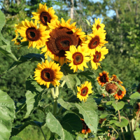 Sunflower cluster